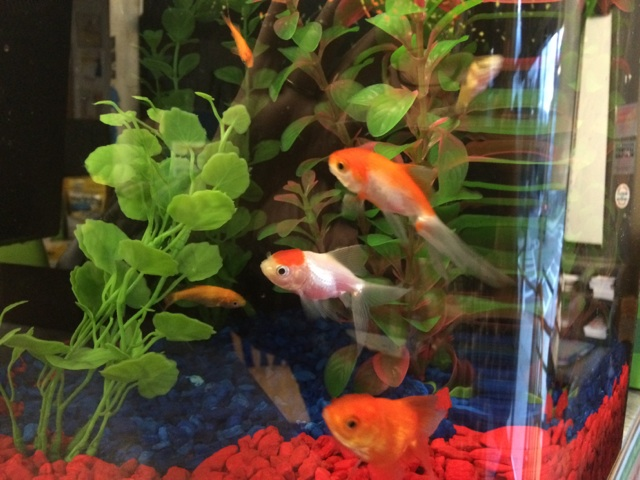 A picture of the Dorchester, MA store's pet fish.